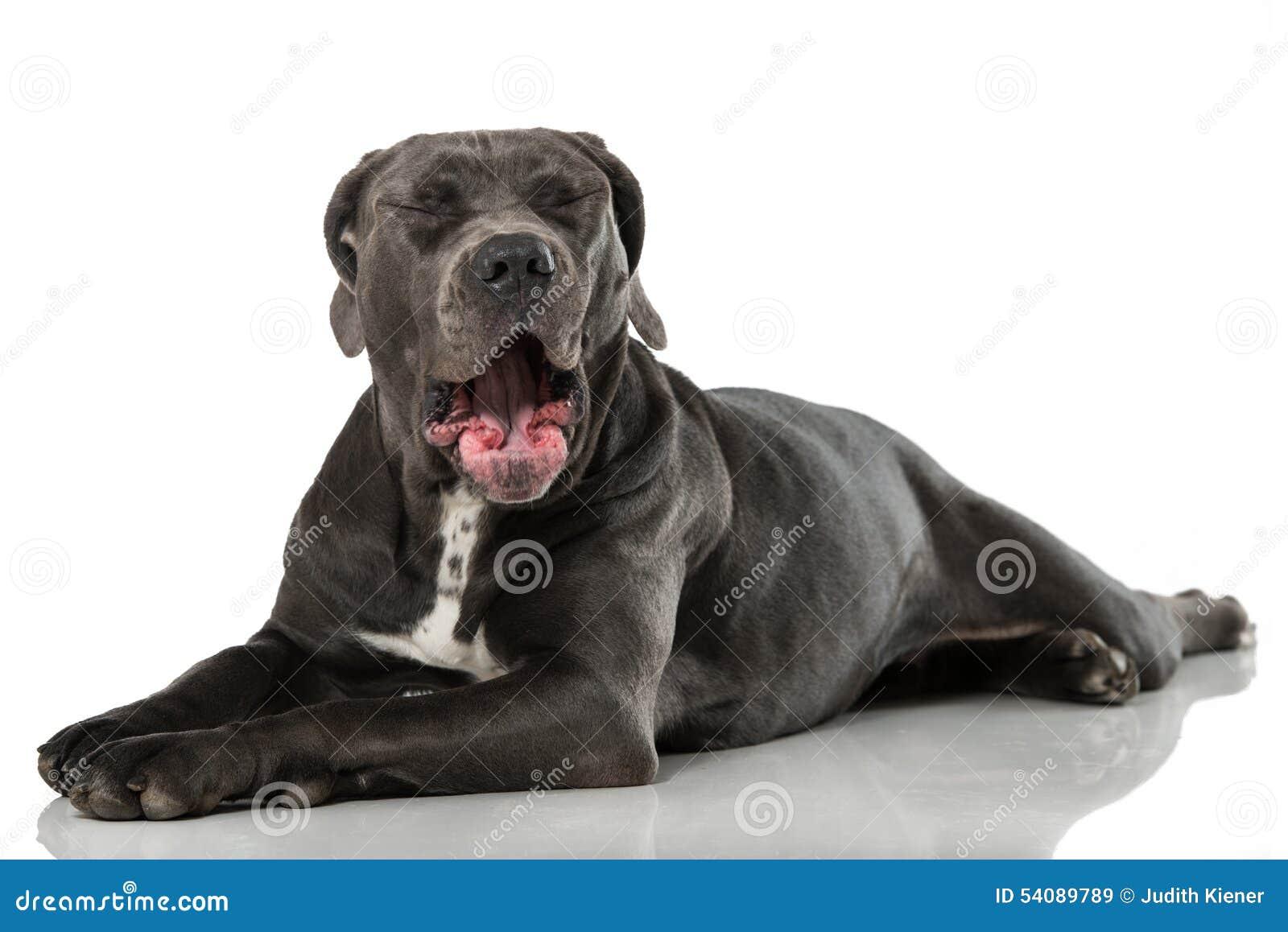 Download De Hond van de geeuw stock afbeelding. Afbeelding bestaande uit geeuw - 54089789