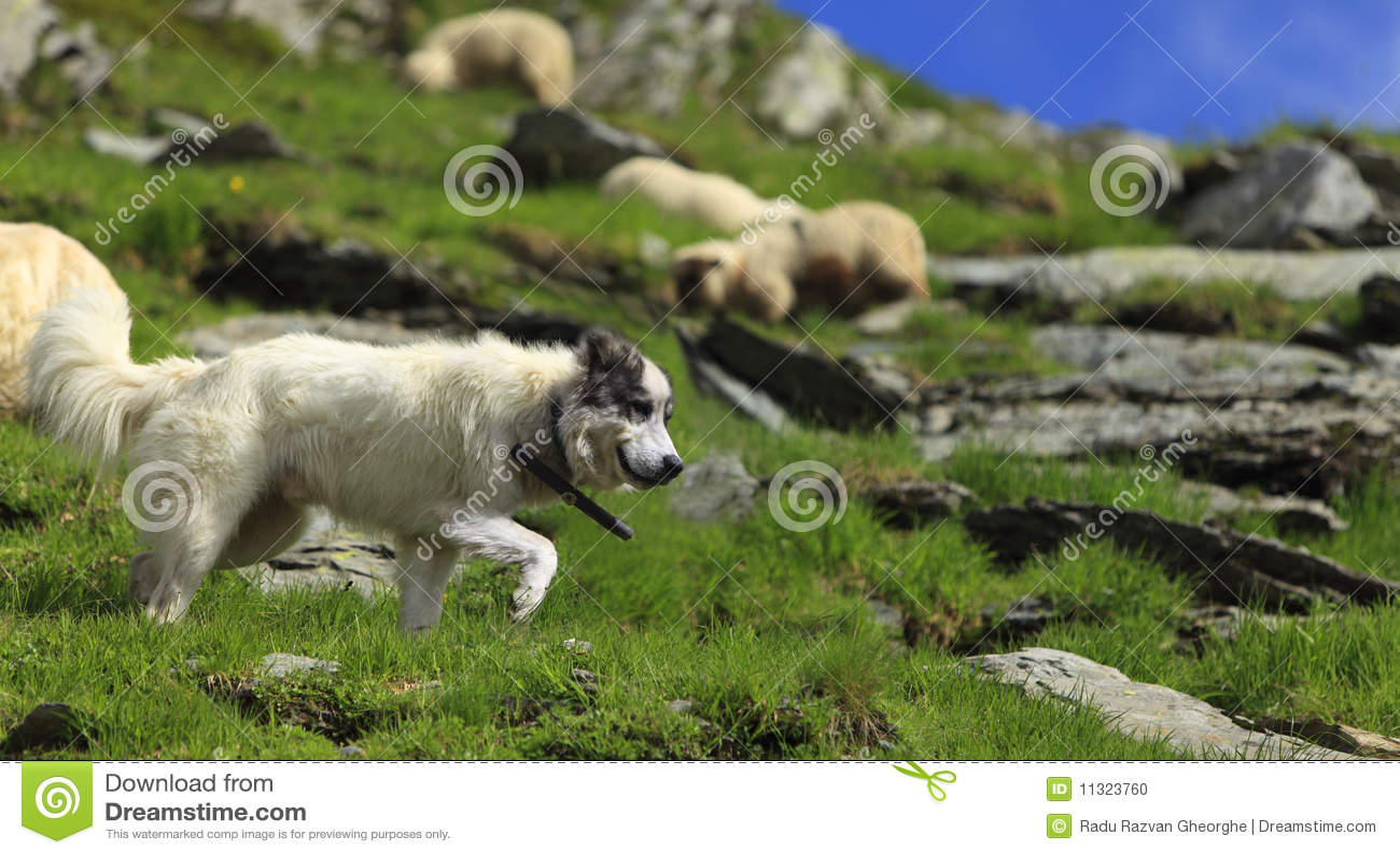 De hond van de herder