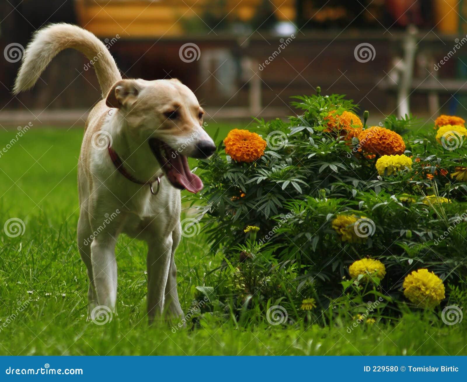 De Hond van de Minnaar van de bloem