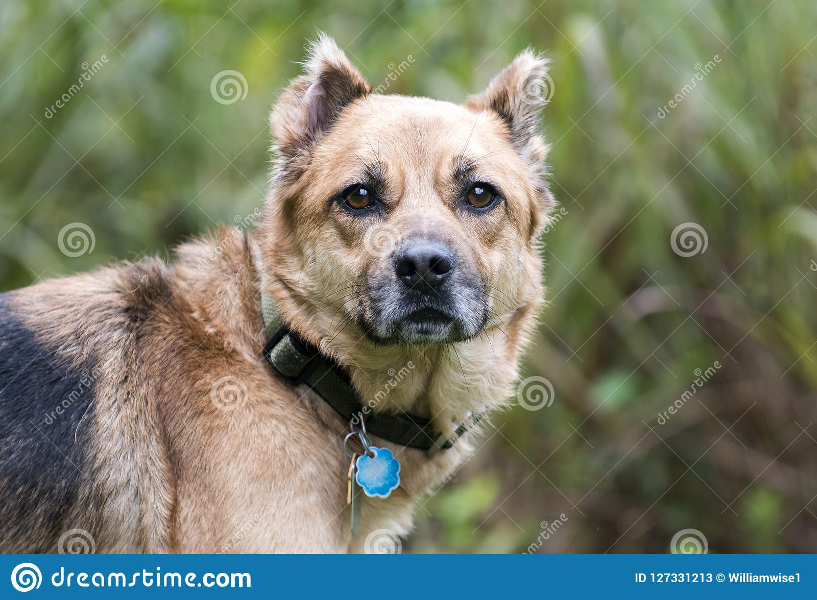 De hond van de herdersmengeling met kraag en hondsdolheids de markeringen van identiteitskaart