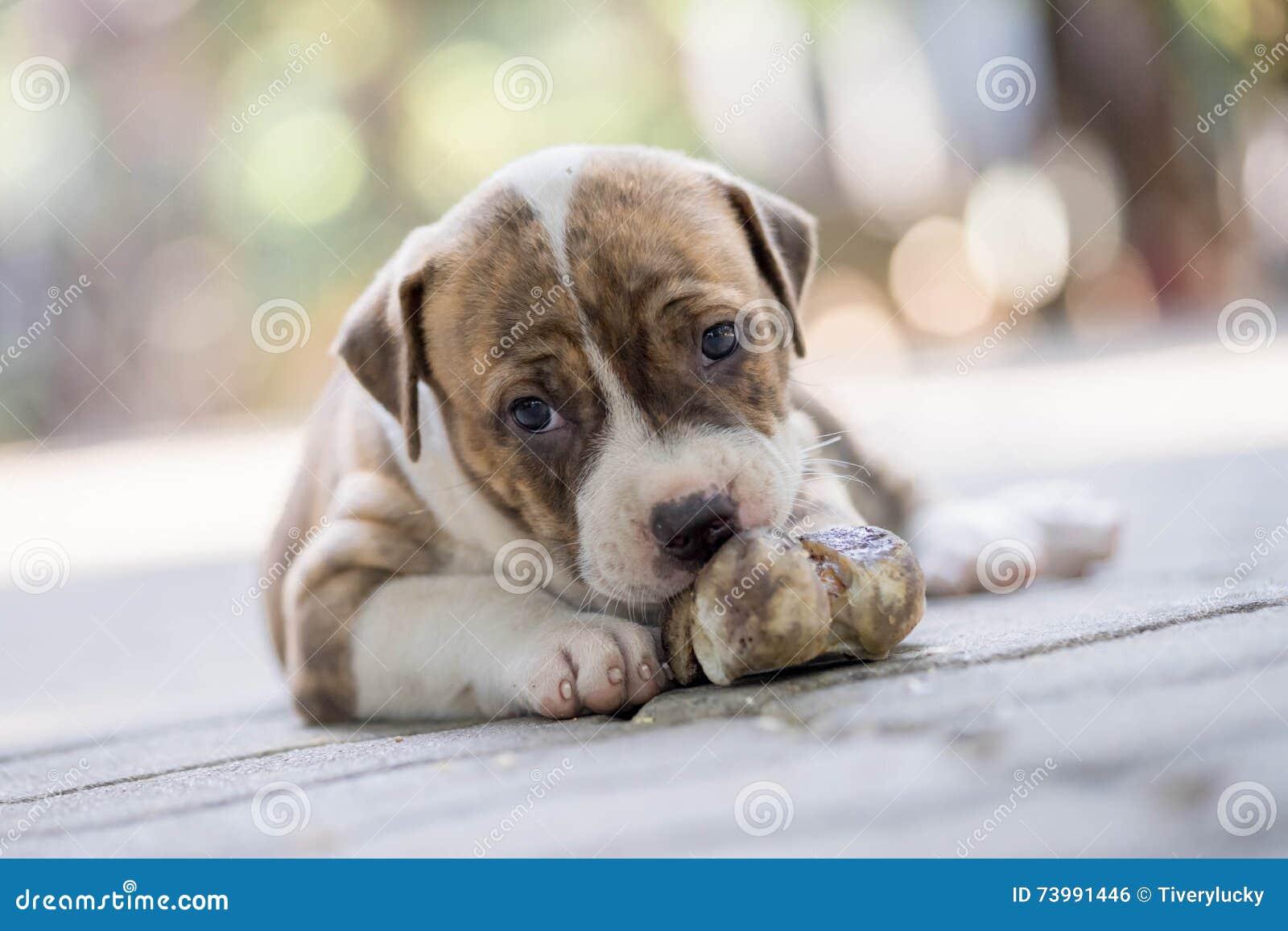 De hond van het Pitbullpuppy