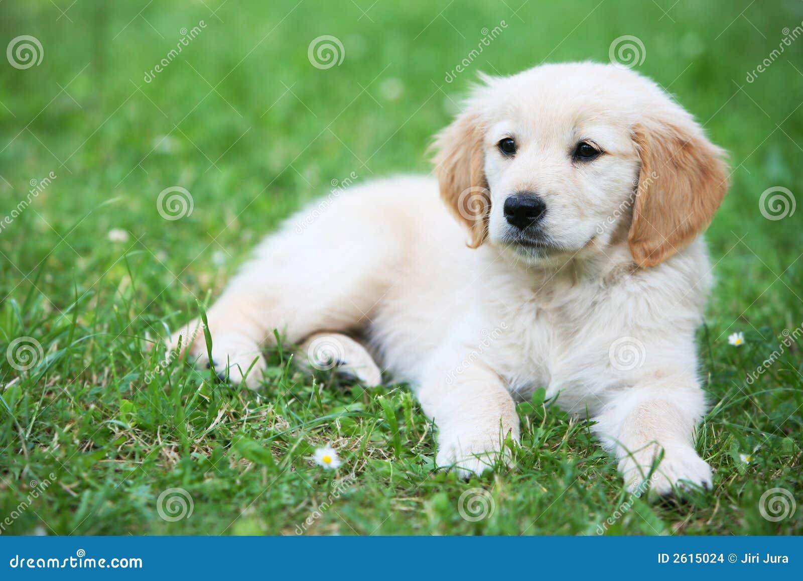 De hond van het puppy op gras