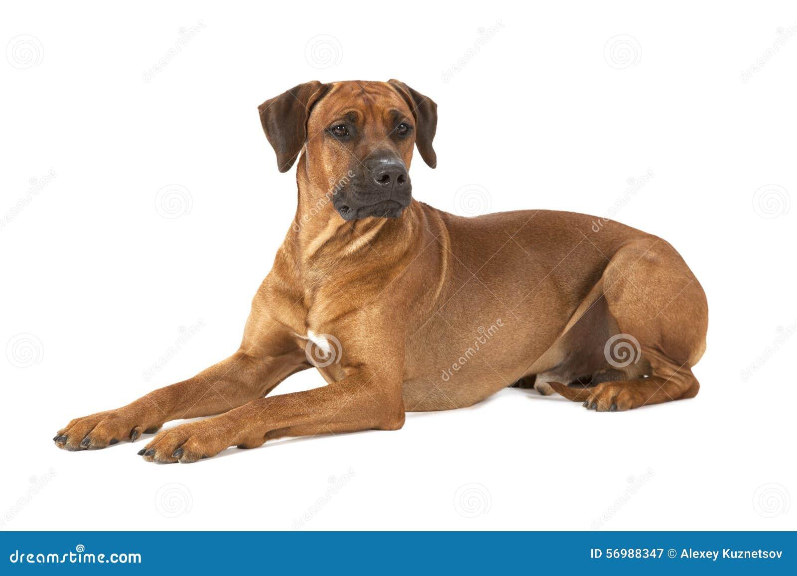 De hond van Rhodesianridgeback op een witte achtergrond