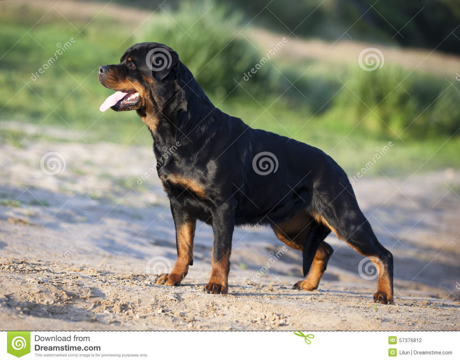 De Hond van Rottweiler