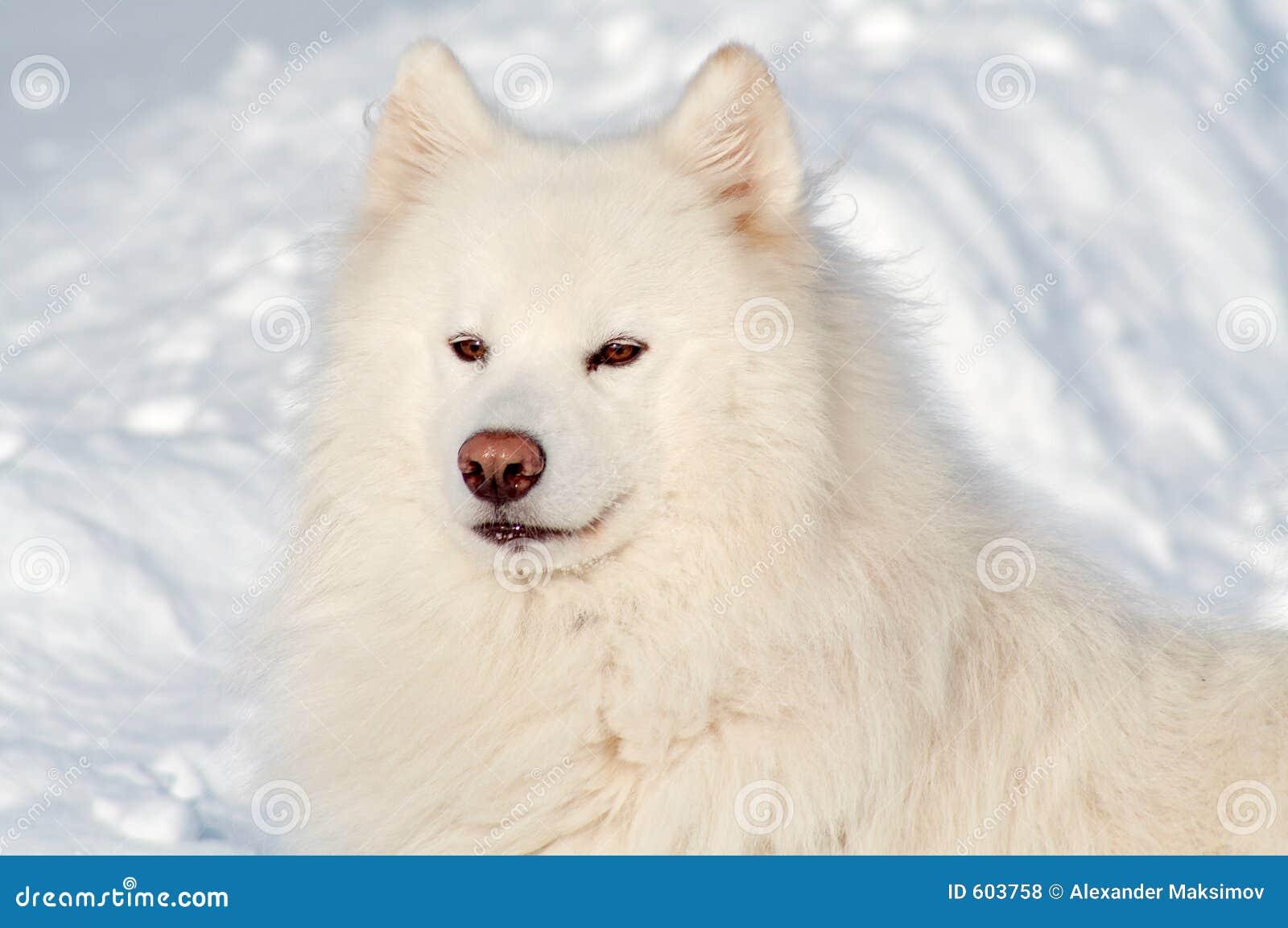 De hond van Samoed