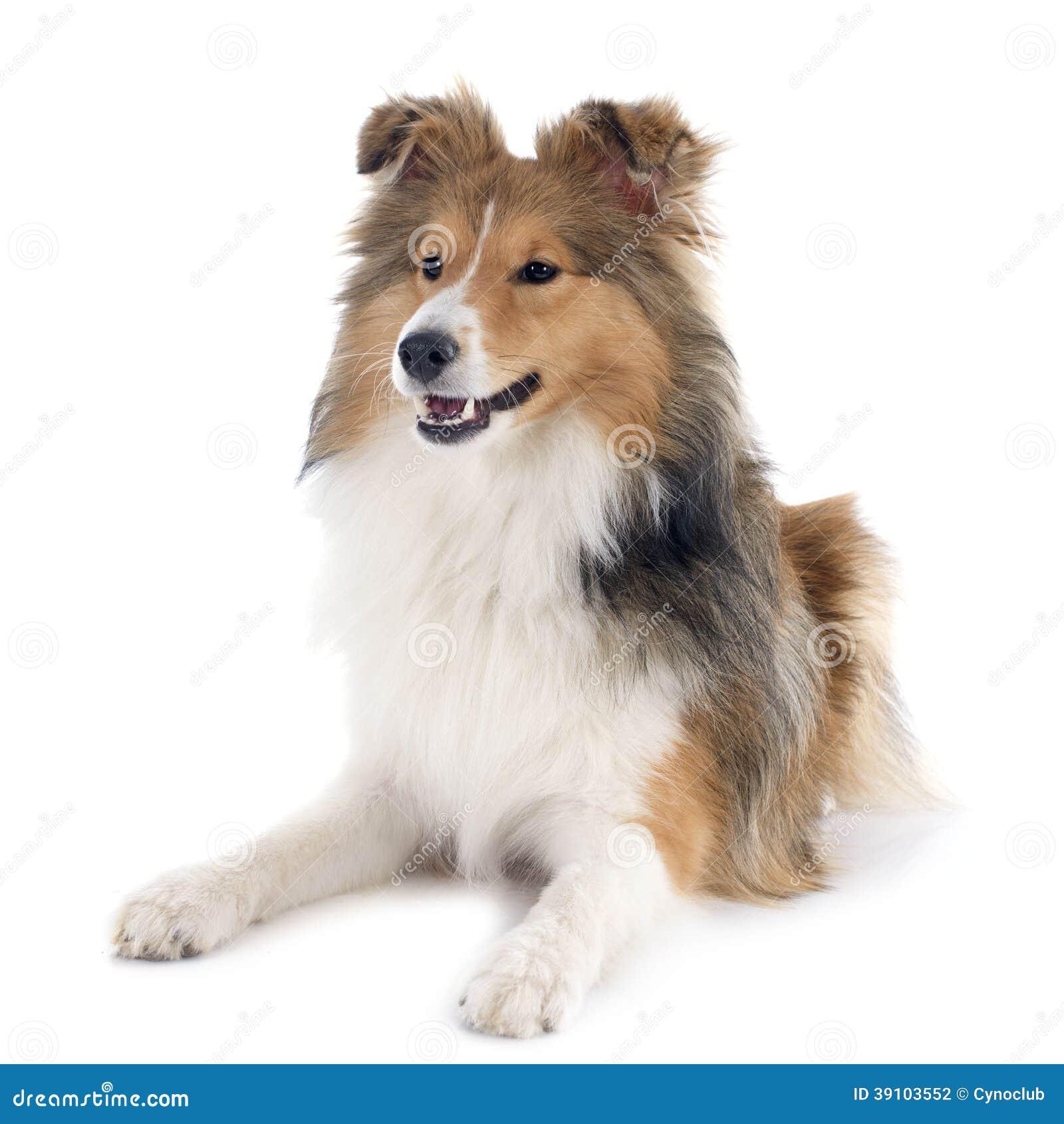 De hond van Shetland