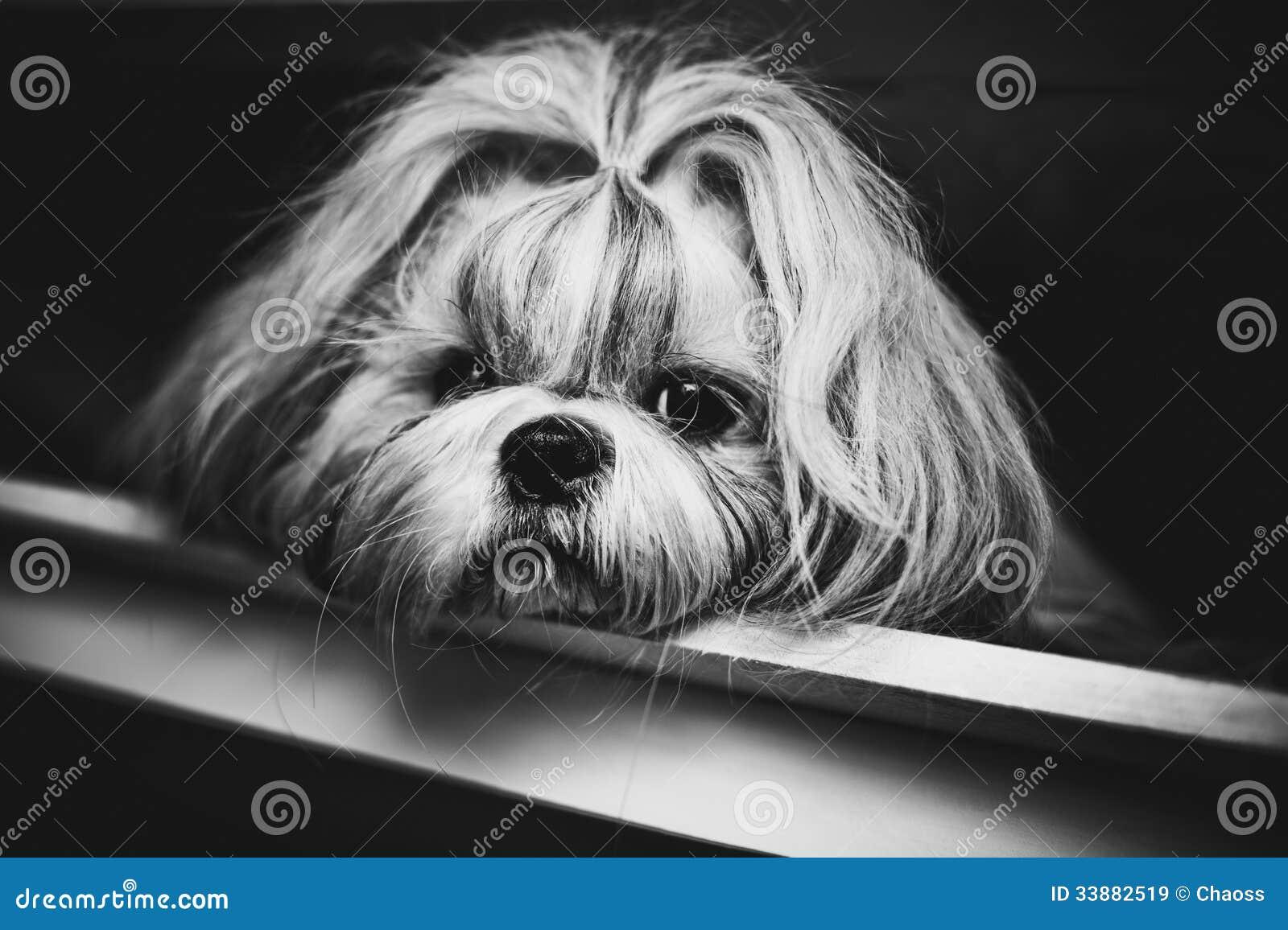 De hond van Shihtzu