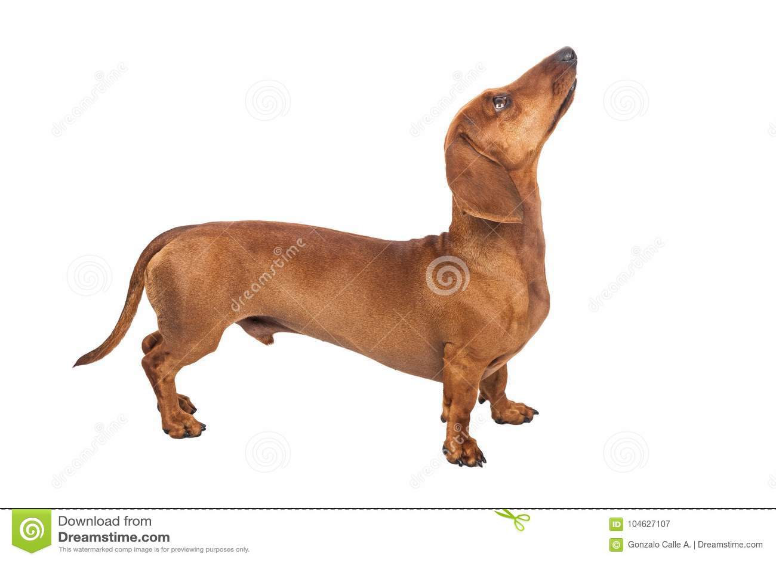 Download De Hond Van De Tekkel Die Over Witte Achtergrond Wordt Geïsoleerdh Stock Afbeelding - Afbeelding bestaande uit bruin, haar: 104627107
