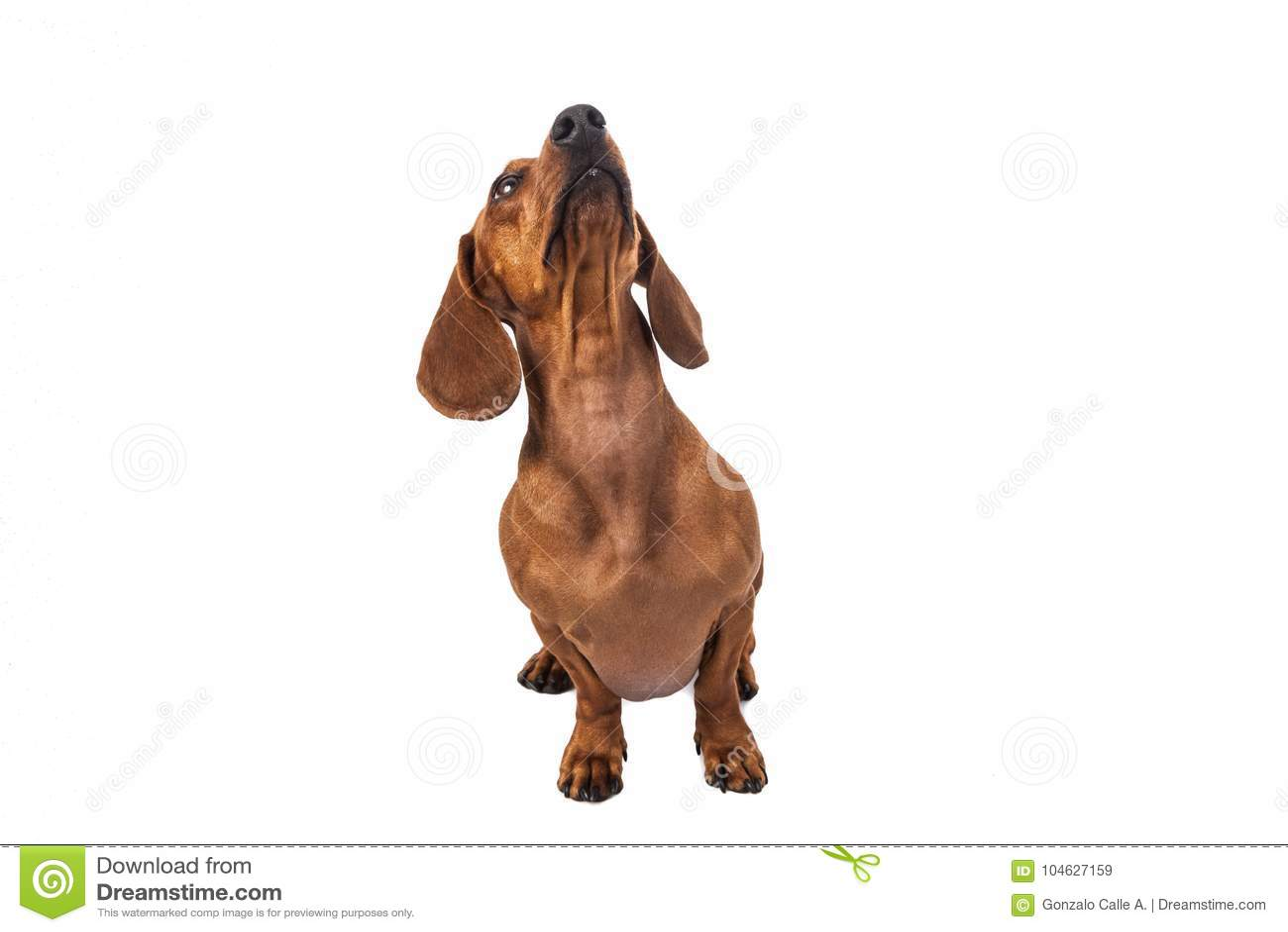 Download De Hond Van De Tekkel Die Over Witte Achtergrond Wordt Geïsoleerdh Stock Afbeelding - Afbeelding bestaande uit hunting, geïsoleerd: 104627159