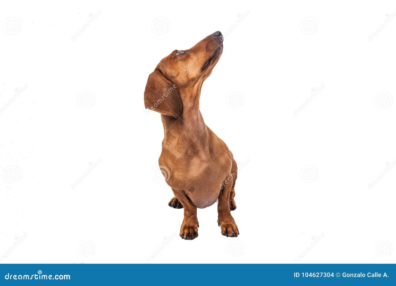 Download De Hond Van De Tekkel Die Over Witte Achtergrond Wordt Geïsoleerdh Stock Foto - Afbeelding bestaande uit snuit, hond: 104627304