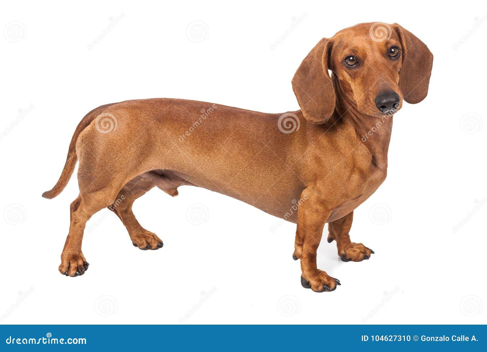 Download De Hond Van De Tekkel Die Over Witte Achtergrond Wordt Geïsoleerdh Stock Foto - Afbeelding bestaande uit binnenlands, huisdier: 104627310