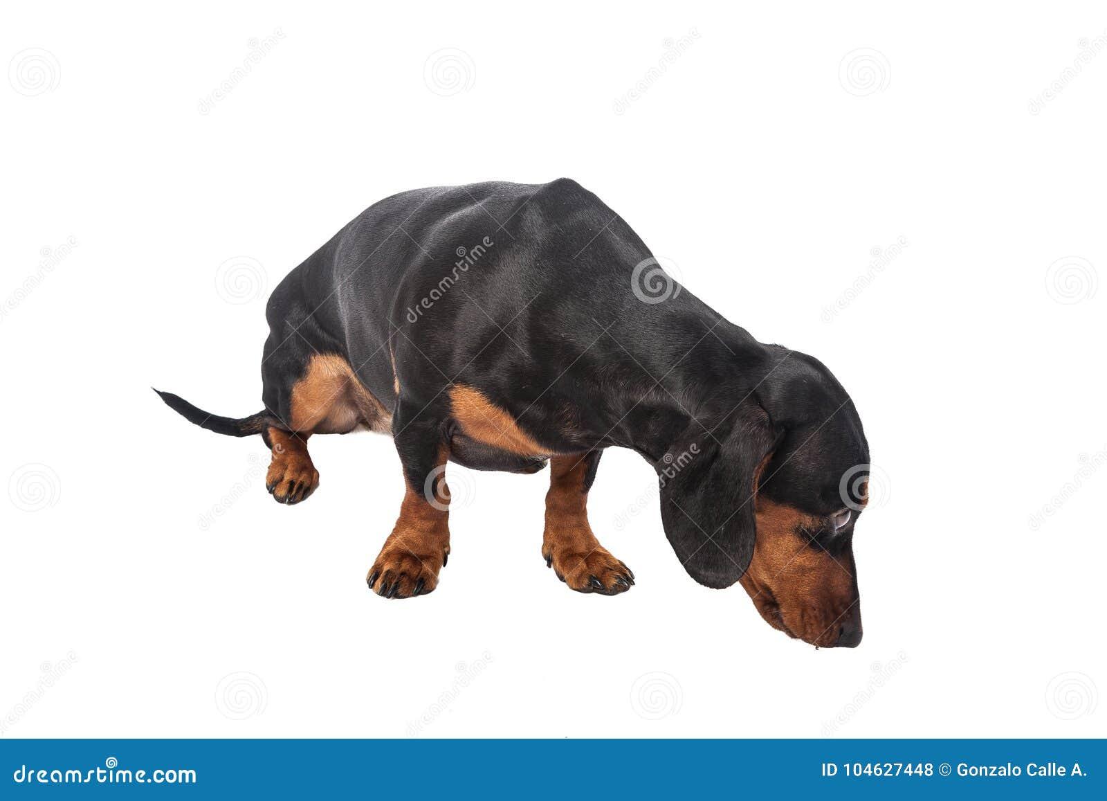 Download De Hond Van De Tekkel Die Over Witte Achtergrond Wordt Geïsoleerdh Stock Foto - Afbeelding bestaande uit growth, dachshund: 104627448