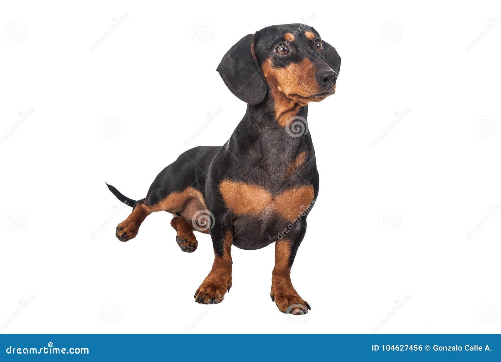 Download De Hond Van De Tekkel Die Over Witte Achtergrond Wordt Geïsoleerdh Stock Foto - Afbeelding bestaande uit zoogdier, dachshund: 104627456