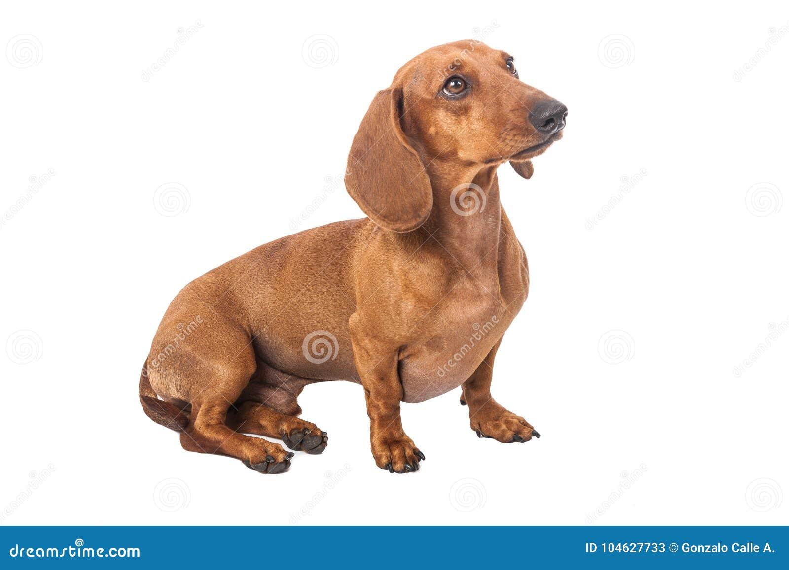 Download De Hond Van De Tekkel Die Over Witte Achtergrond Wordt Geïsoleerdh Stock Afbeelding - Afbeelding bestaande uit dachshund, growth: 104627733