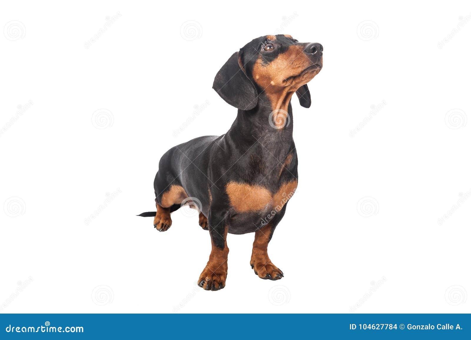 Download De Hond Van De Tekkel Die Over Witte Achtergrond Wordt Geïsoleerdh Stock Foto - Afbeelding bestaande uit puppy, over: 104627784