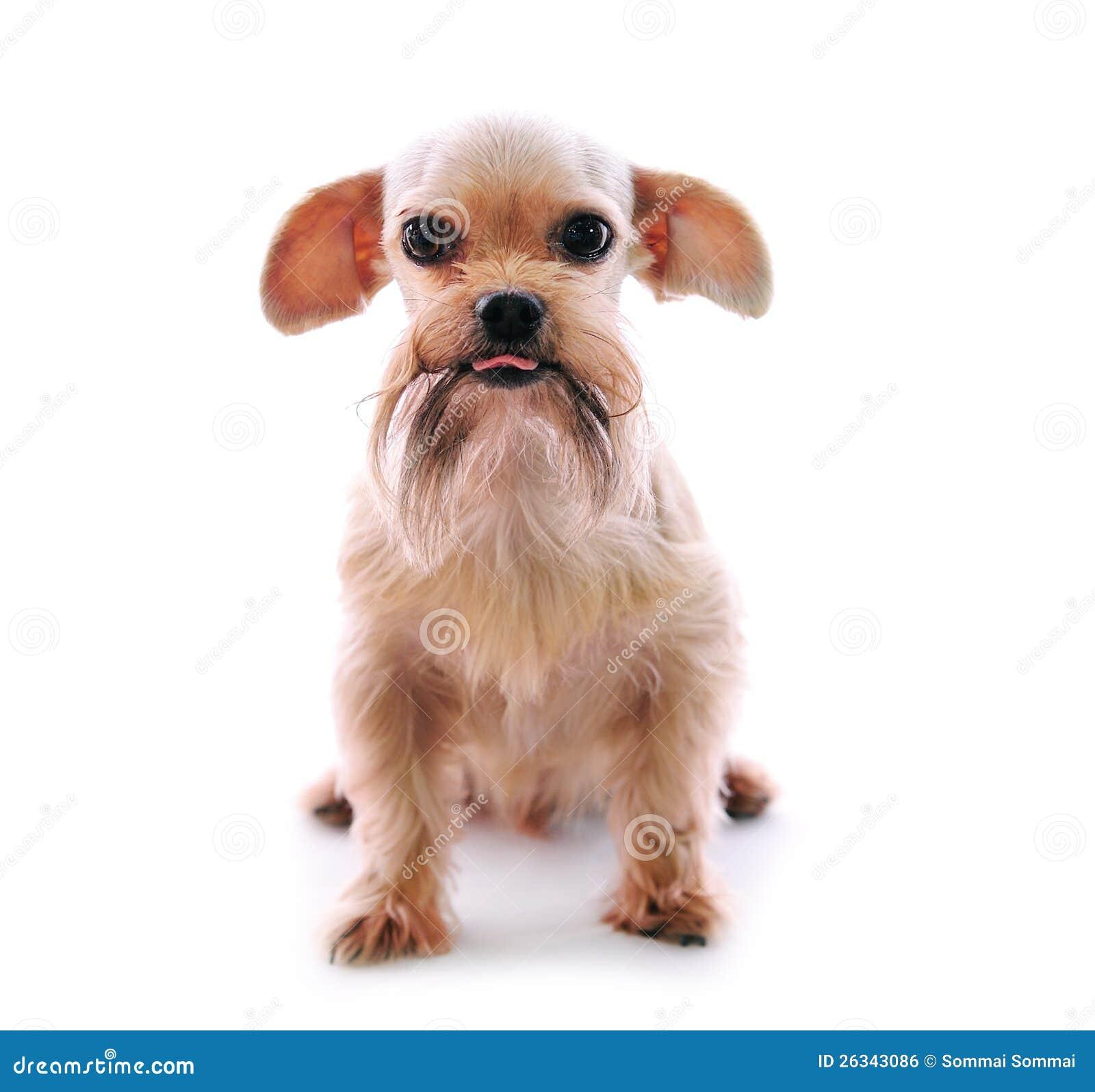 De hond van Tzu van Shih