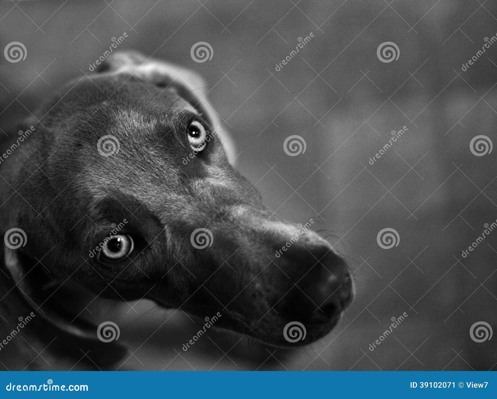 De hond van Weimaraner