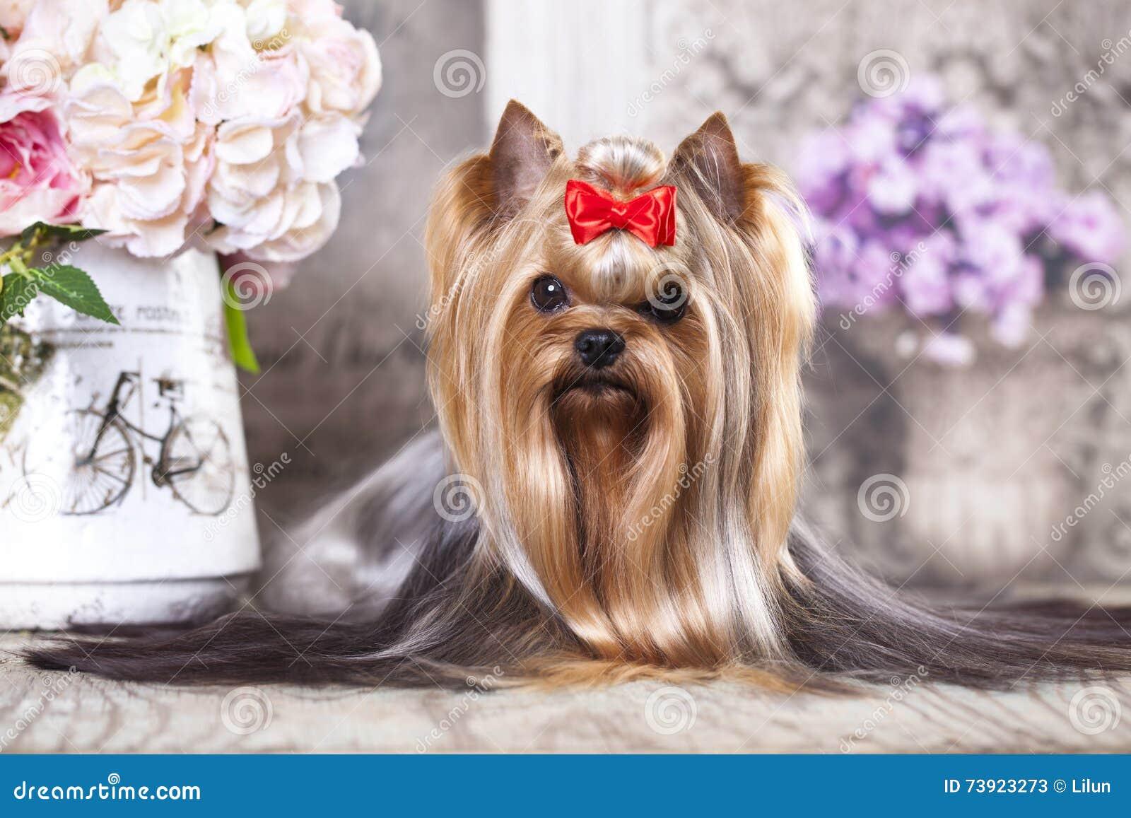 De hond van Yorkshire Terrier