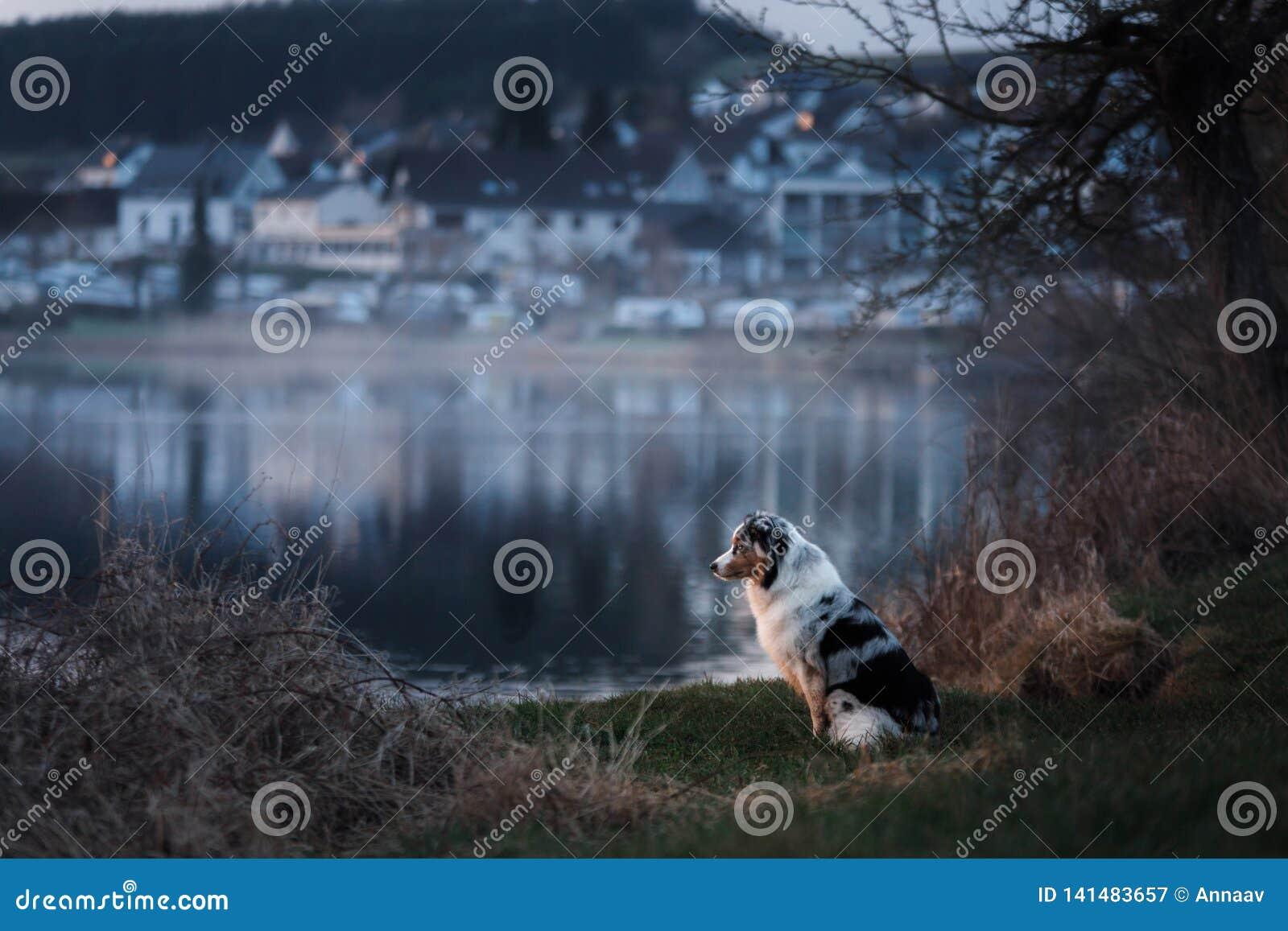 De hond zit door het meer Australische herder in aard Huisdierengang