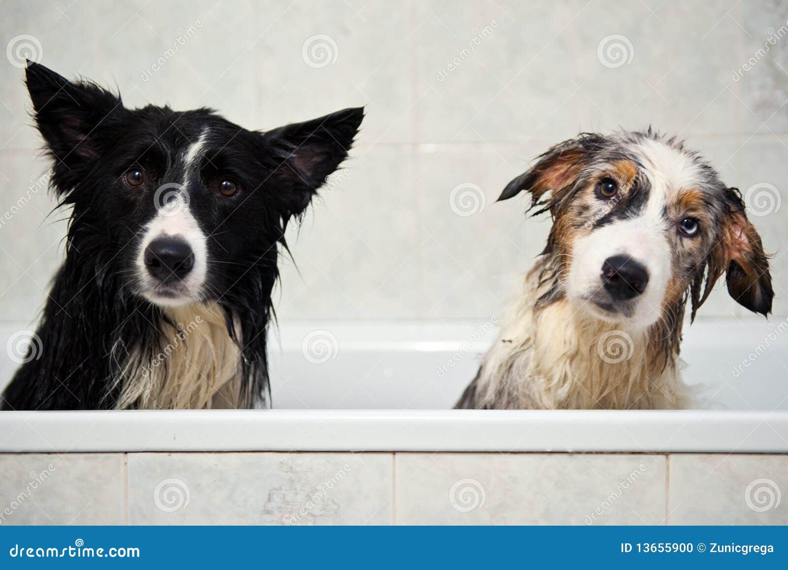 De honden van de douche