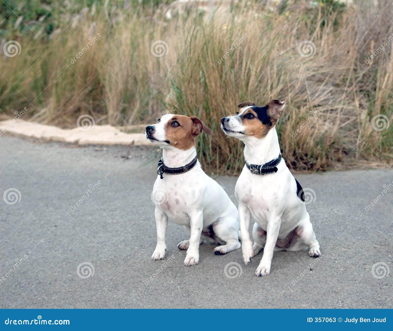 Stock foto s de honden van jack russel