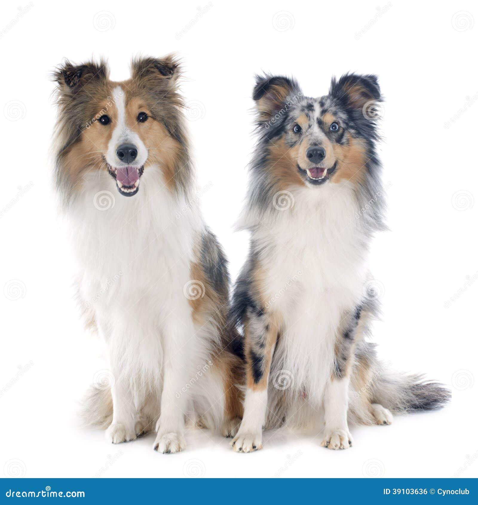 De honden van Shetland