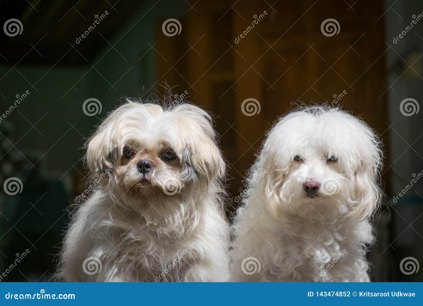 De honden van Shih Tzu en van de Poedel