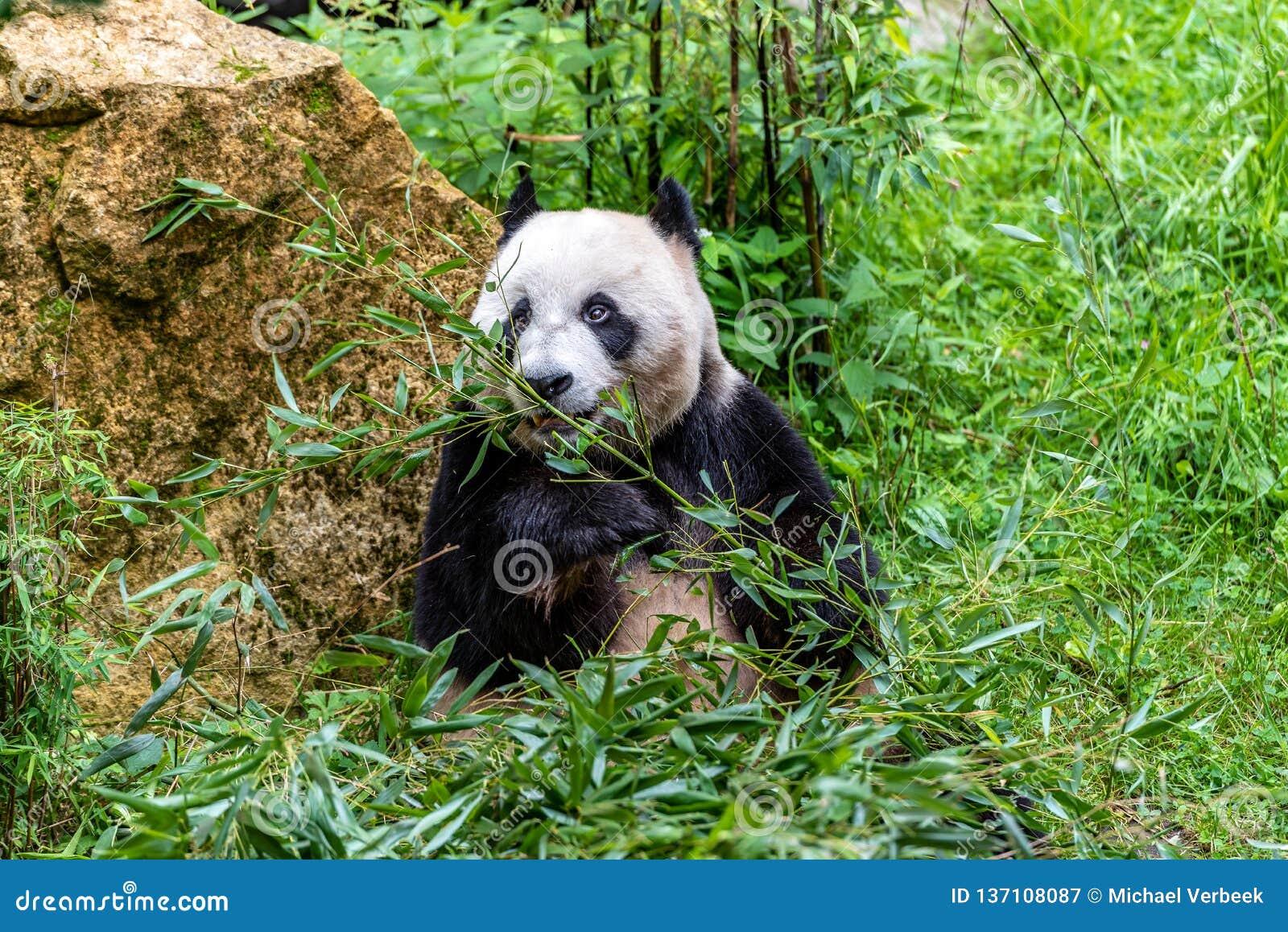 De hongerige reuzepanda draagt etend bamboe