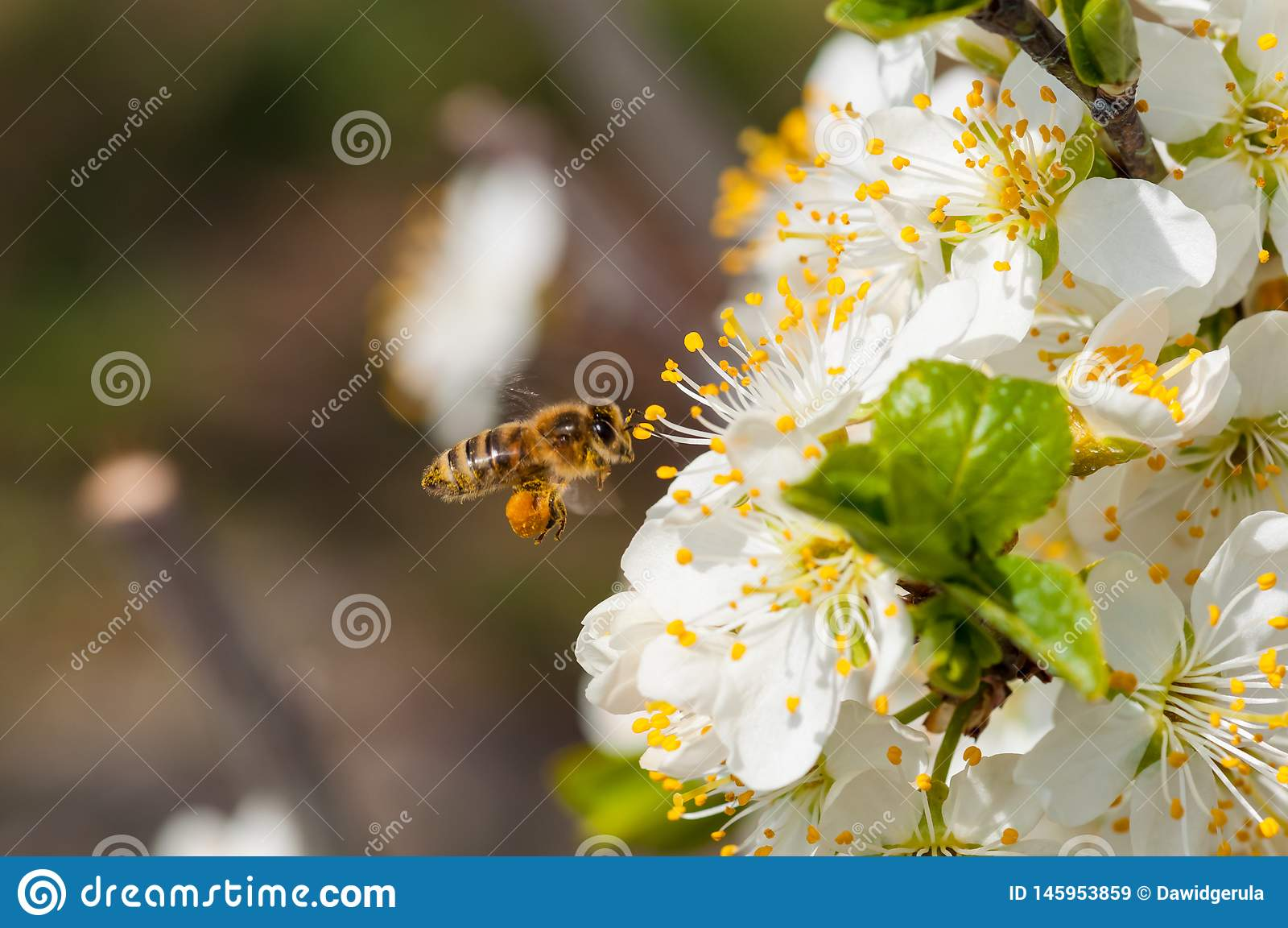 De honingbij op witte pruim bloeit macro