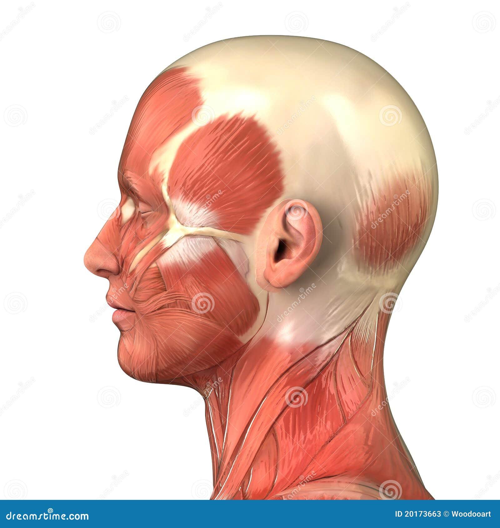 spieren hoofd