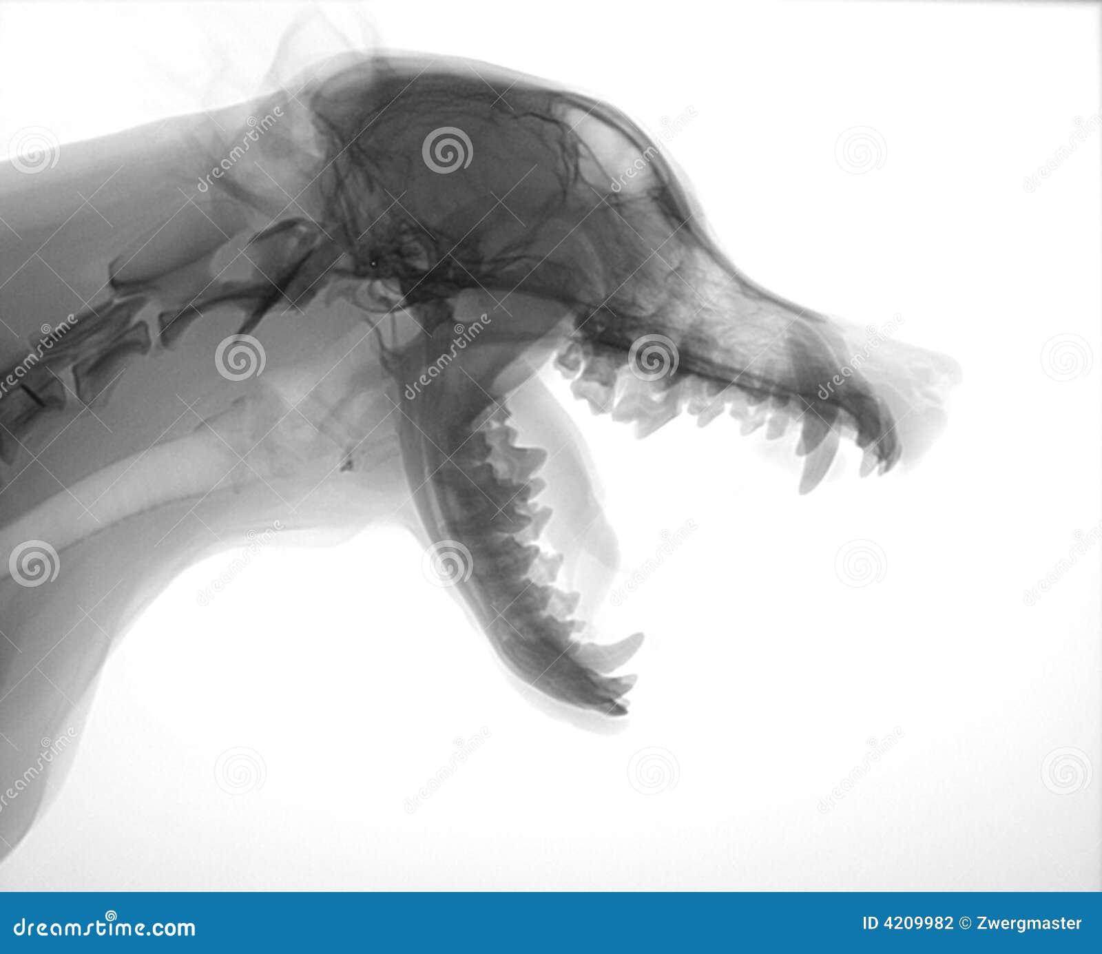 De hoofdröntgenstraal van de hond