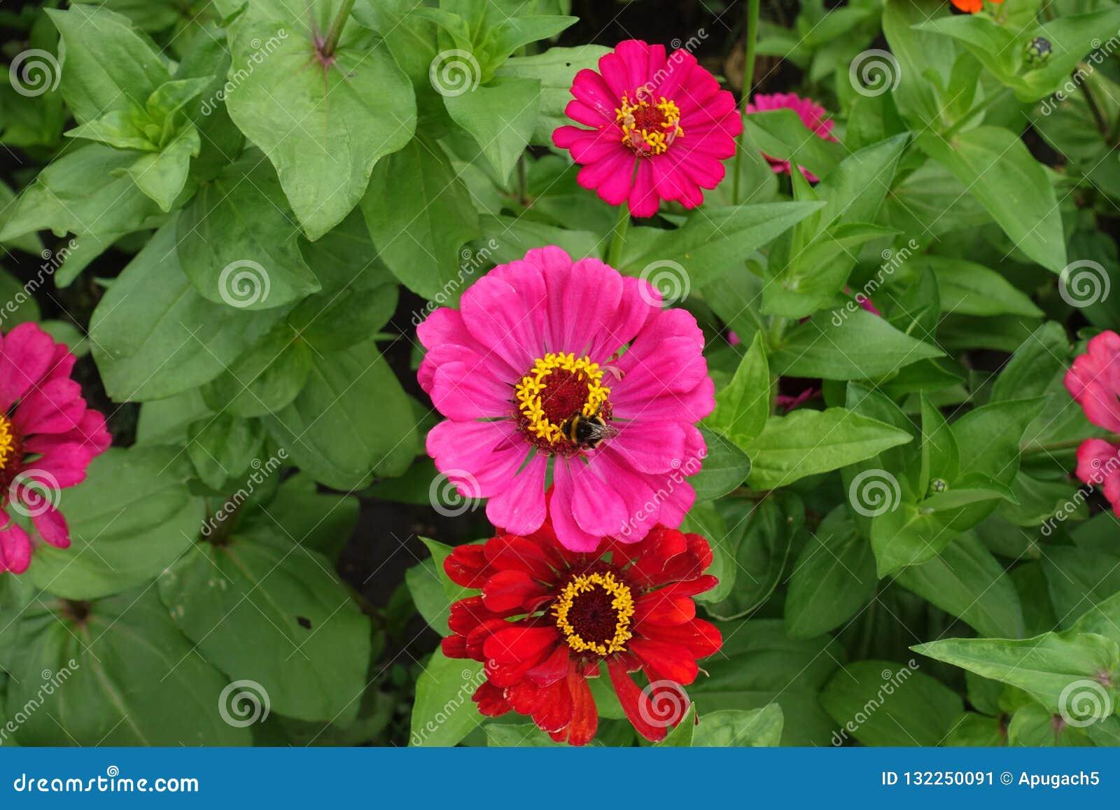 De hoogste mening van magenta-gekleurde bloem van Zinnia met stuntelt bij op het