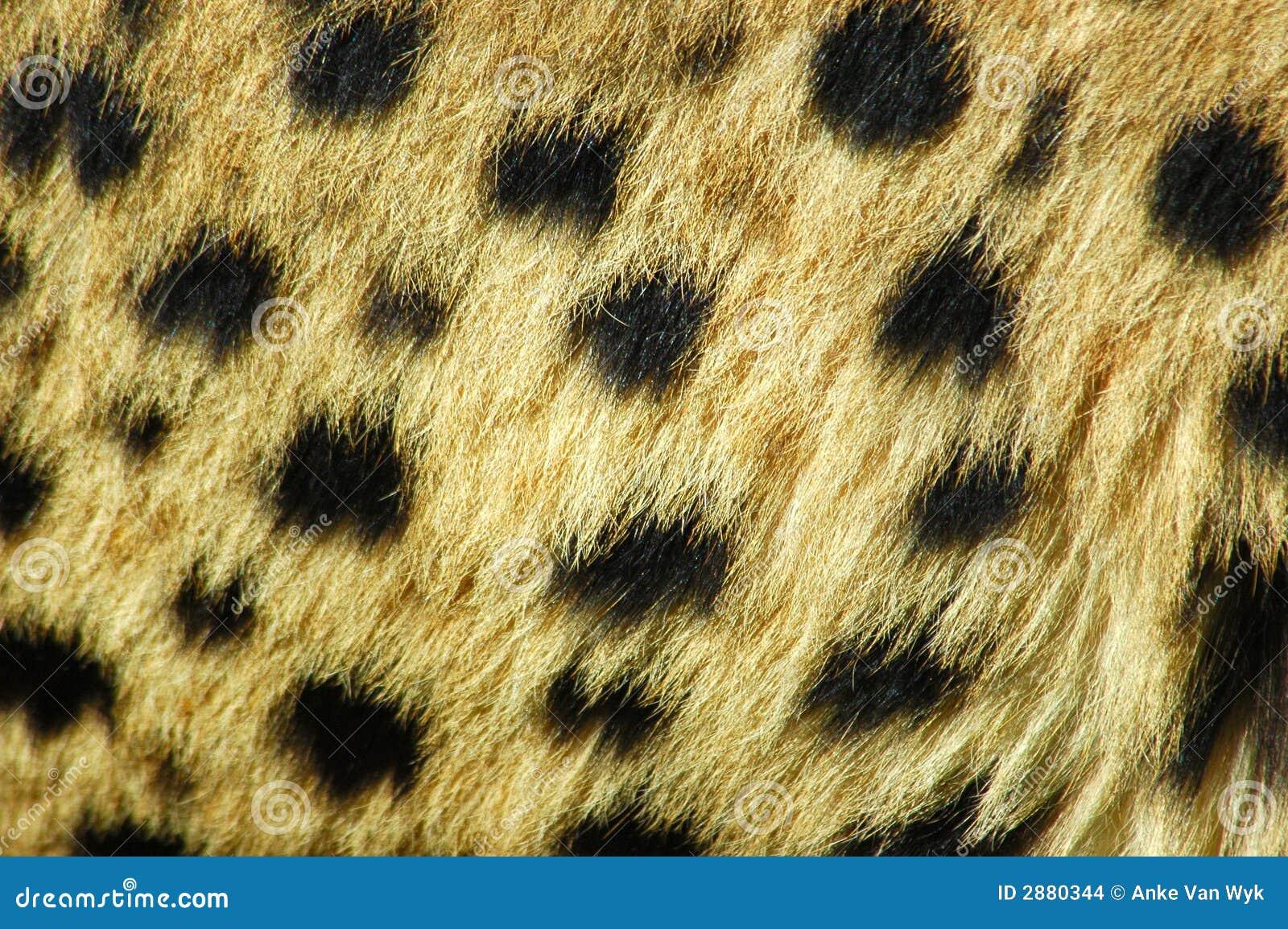 De huid van de jachtluipaard