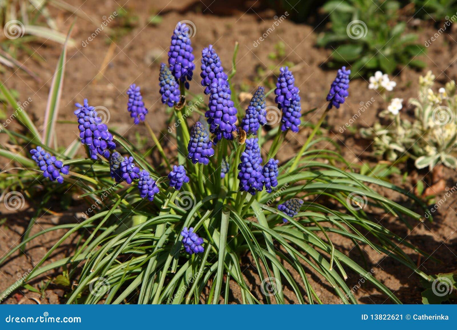 De hyacint van de druif