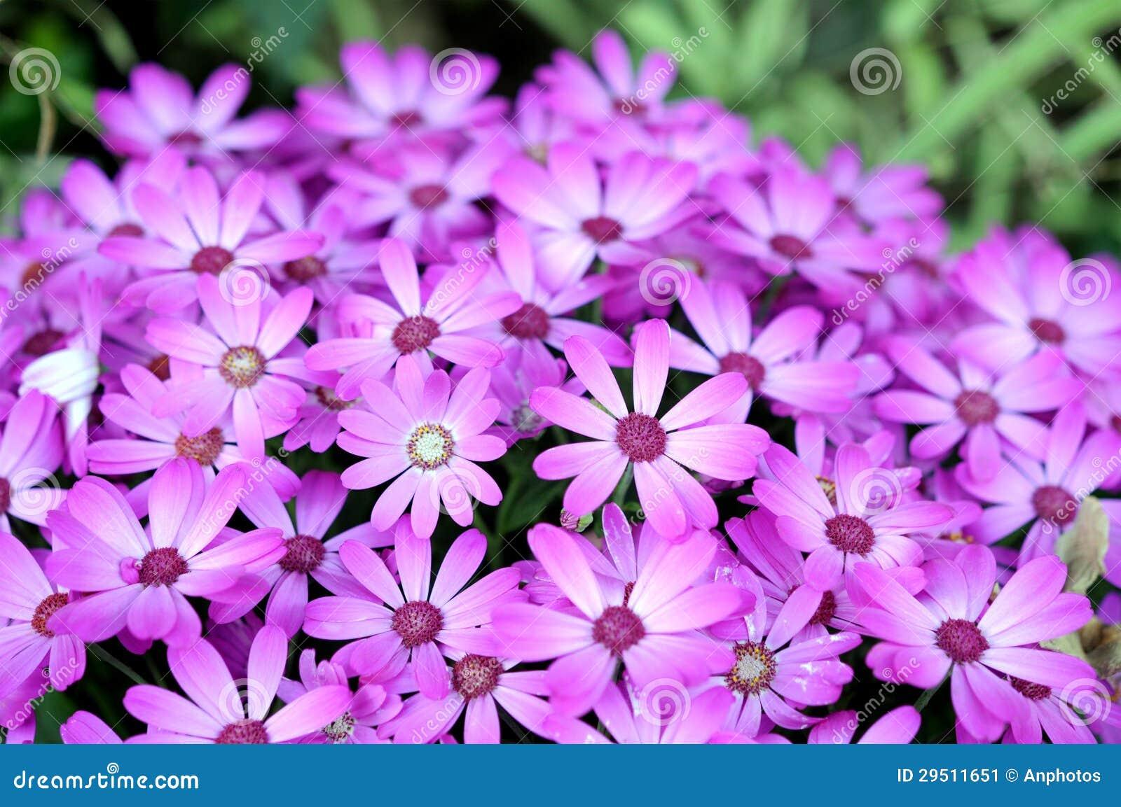 De hybride bloem van Osteospermum