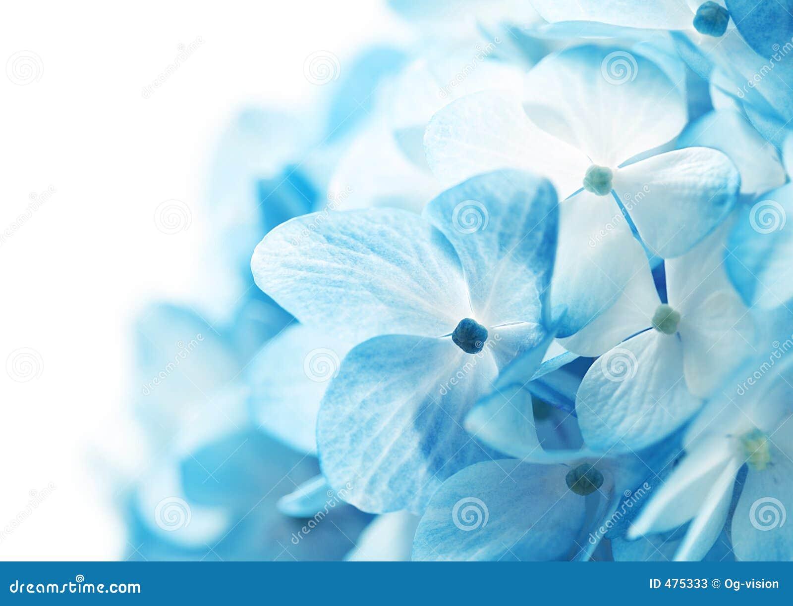 De hydrangea hortensia bloeit Achtergrond