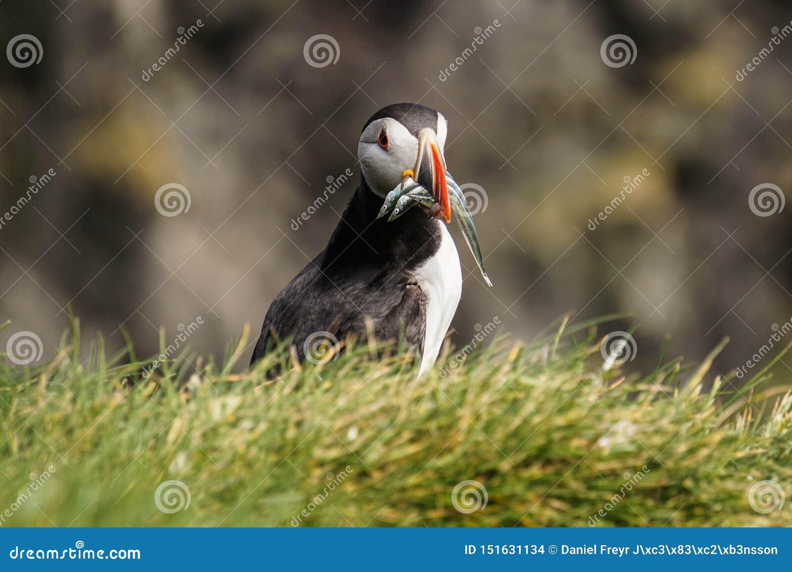 De iconische papegaaiduiker in IJsland