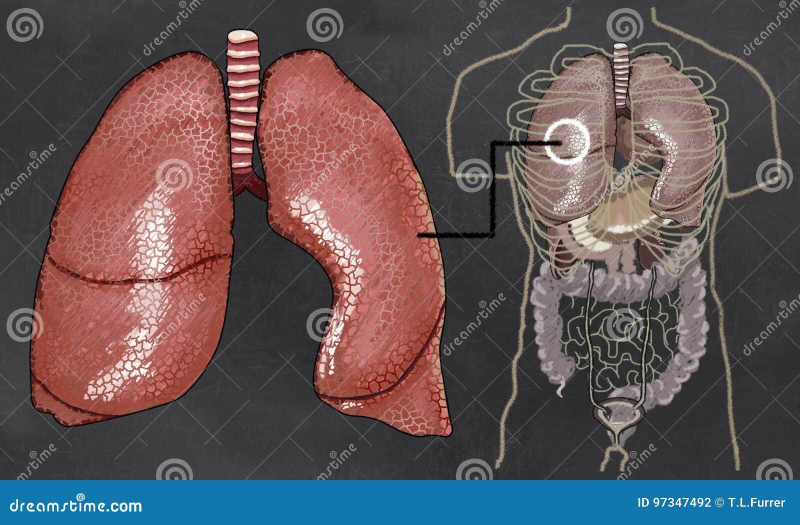 De Illustratie van de longenanatomie met Torso