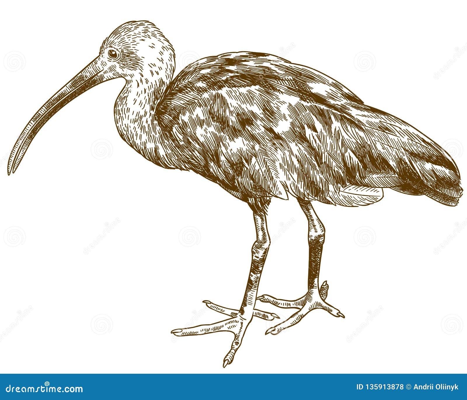 De illustratie van de gravuretekening van scharlaken ibis