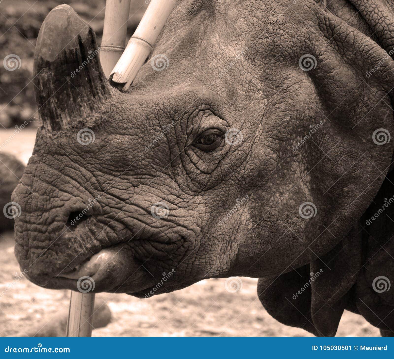 De Indische rinoceros