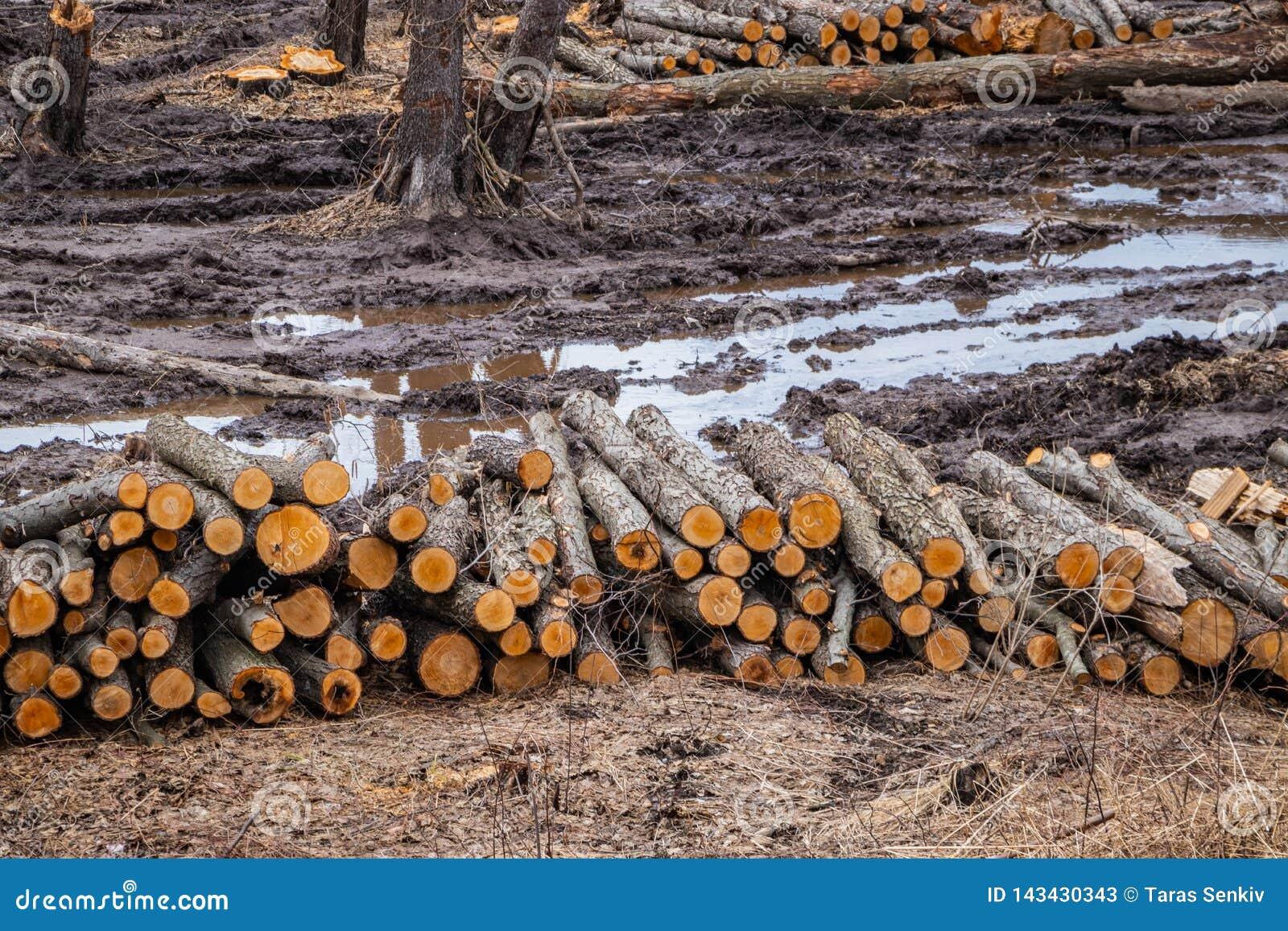 De industriële geplande ontbossing in de lente, verse els ligt op de grond onder de stompen