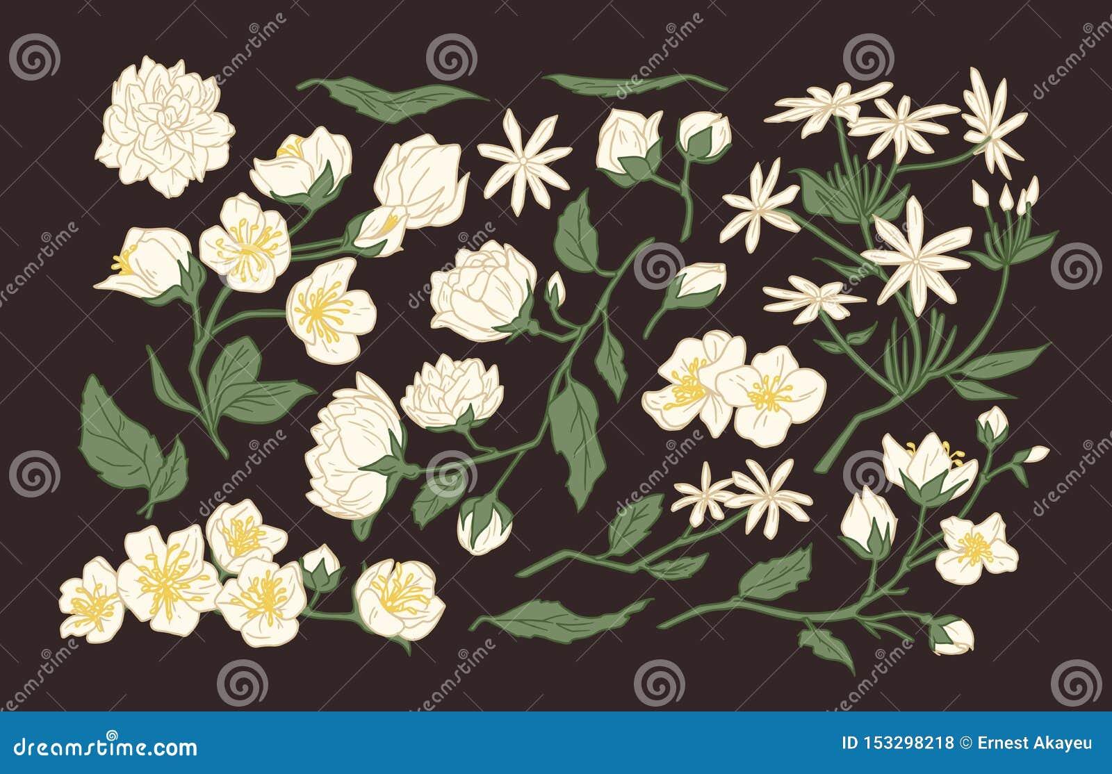 De inzameling van elegante gedetailleerde botanische tekeningen van jasmijn en hetoranje bloeien bloeit en gaat weg Getrokken han