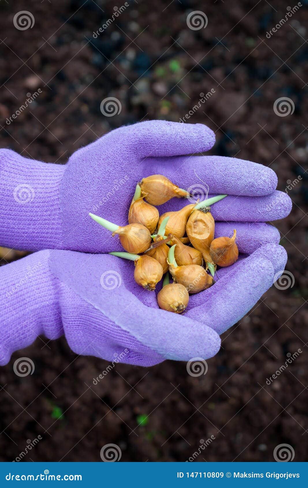 De irisbollen in tuinman dient handschoenen klaar om worden geplant in