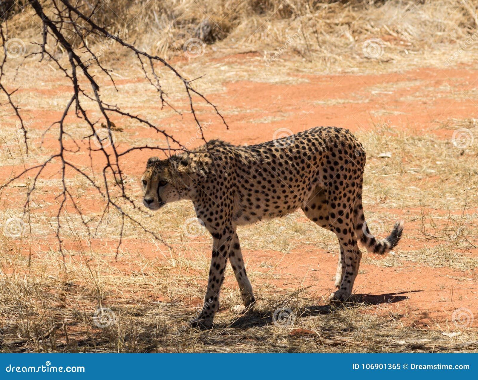 De jachtluipaard op snuffelt rond