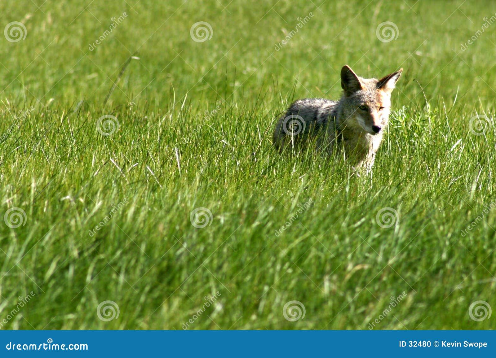 De Jager van de coyote
