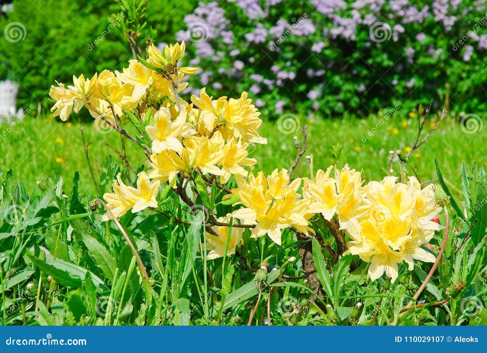 De Japanse gele vergankelijke rododendron