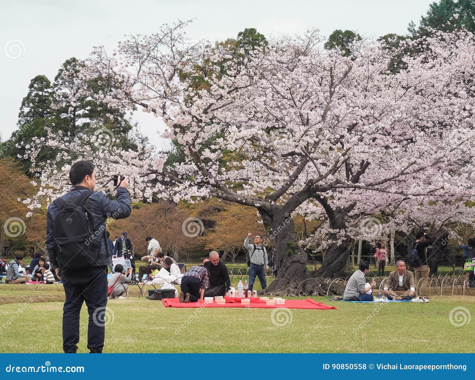 De Japanse het genieten van kers komt festival korakuen binnen tuin tot bloei
