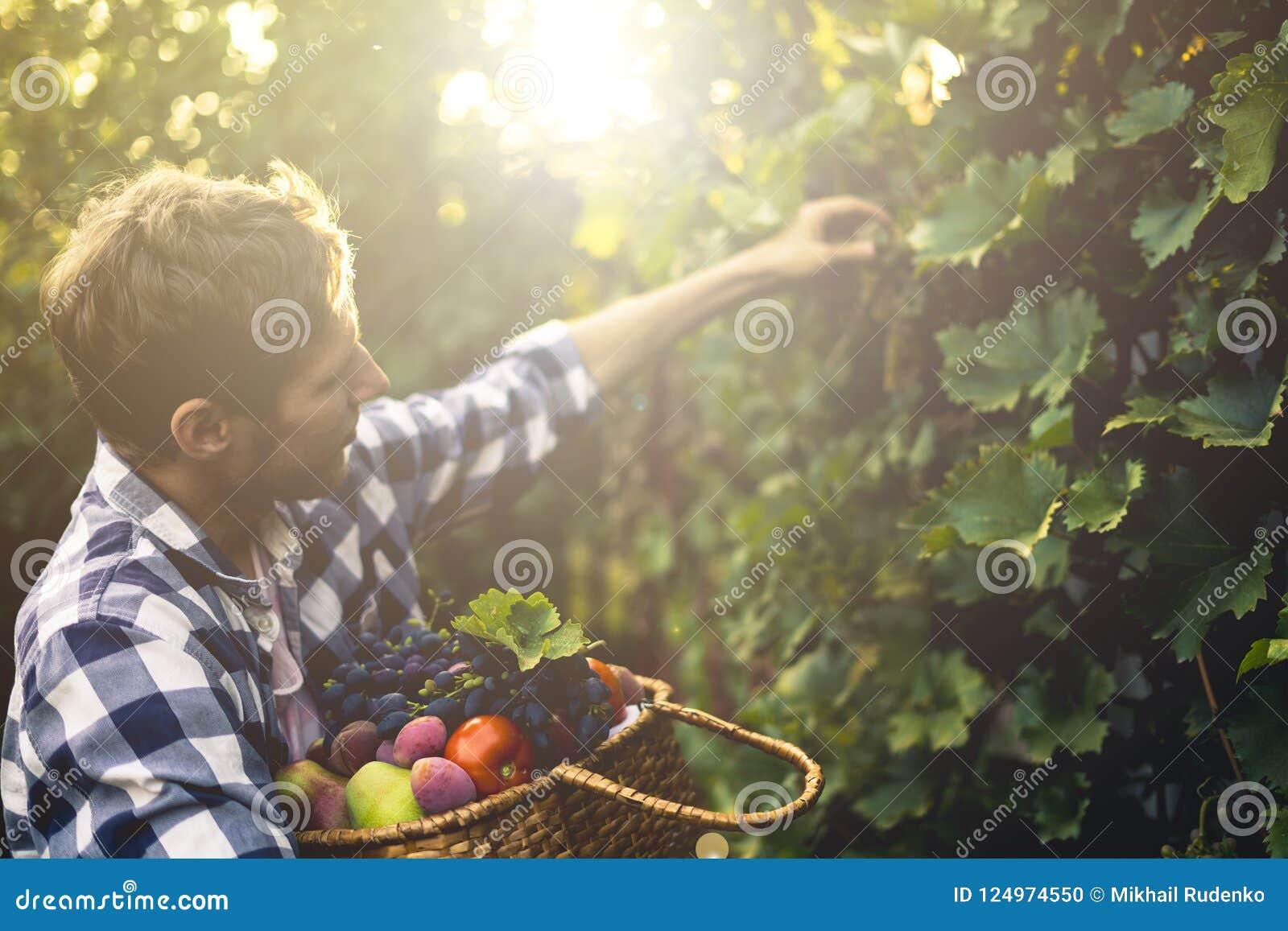 De jonge gebaarde oogst van de de druivenwijn van de mensenoogst in wijngaard op een zomerlandbouwbedrijf