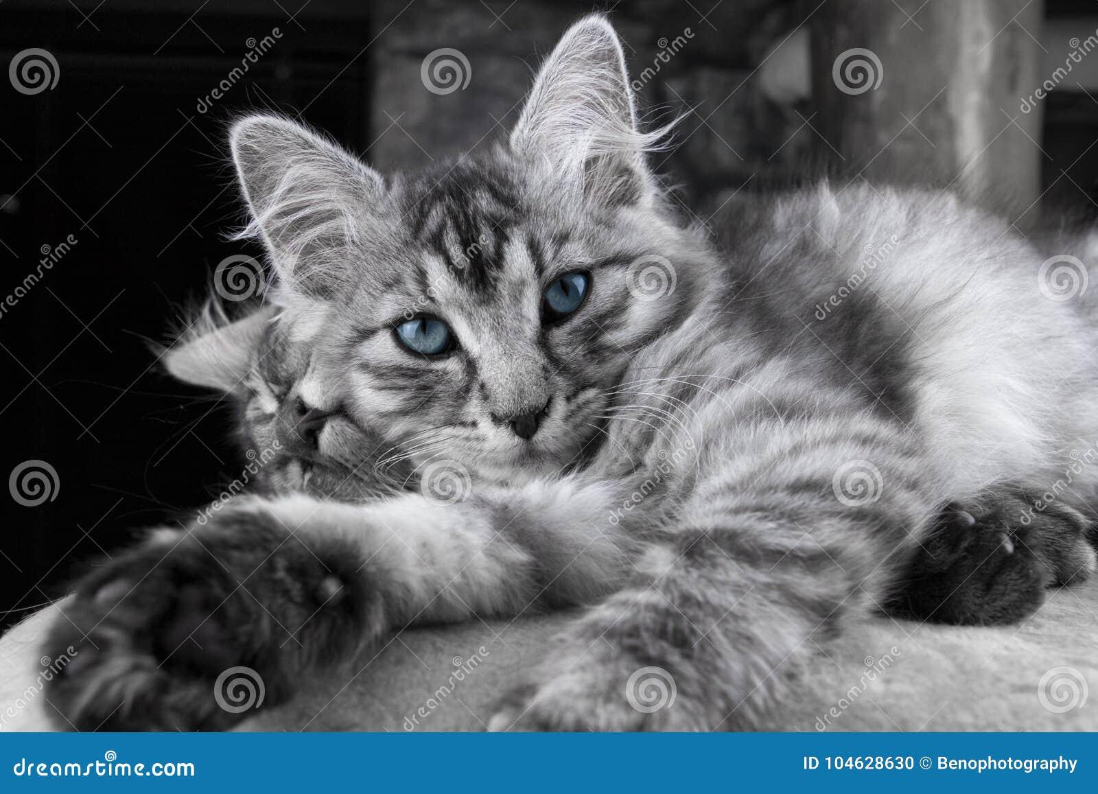 Download De Jonge Grijze Maine Coon-kat Met Blauwe Ogen Ligt En Stelt Aan Camera Mooi Weinig Kat Die Aan Camera Vóór Slaap Kijken SL Stock Foto - Afbeelding bestaande uit grijs, aanbiddelijk: 104628630
