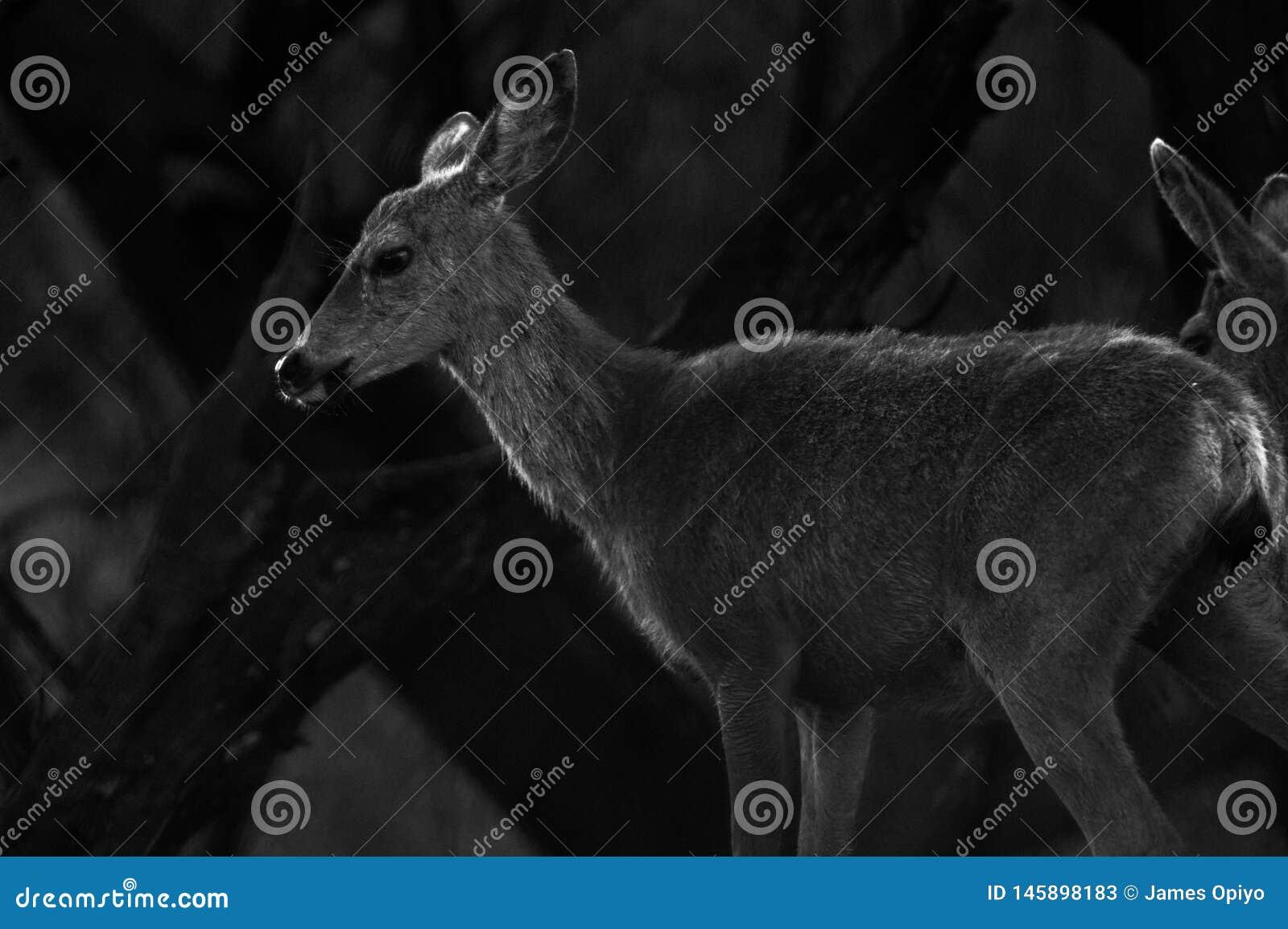 De jonge herten van Calabasascaliforni?